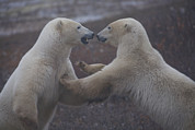Crowd Scene Art - Two Polar Bears Spar Playfully by Taylor S. Kennedy