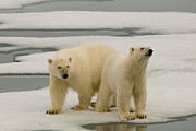 Norway Prints - Two Polar Bears Stand On A Piece Of Ice Print by Norbert Rosing