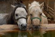 Cute Photographs Framed Prints - Two Ponies Meet For A Refreshing Drink Framed Print by Medford Taylor