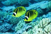 Two Islands Photos - Two Racoon Butterflyfish Chaetodon by Tim Laman