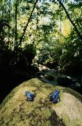 Forests And Forestry Art - Two Rare And Endangered Blue Poison by George Grall