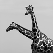 Natural White Posters - Two Reticulated Giraffes Poster by Achim Mittler, Frankfurt am Main