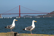 Seagull Metal Prints - Two Seagull Enjoying The Sailboats On The San Francisco Bay . 7D14046 Metal Print by Wingsdomain Art and Photography