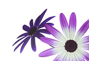 Pericallis Senetti Prints - Two Senettis Print by Richard Thomas