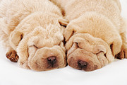 Sleeping Dog Posters - Two Shar Pei Puppies Sleeping, White Background, Studio Shot Poster by Martin Harvey
