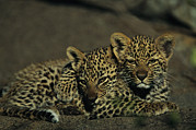 Wildcats Posters - Two Sleepy Four-month-old Leopard Cubs Poster by Kim Wolhuter