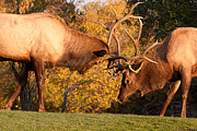 Elk Photographs Photo Prints - Two Sparring Bull Elk 90 Print by James Bo Insogna