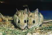 Bonding Metal Prints - Two Spinifex Hopping Mice Huddle Metal Print by Jason Edwards