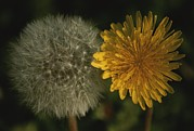 Pods Framed Prints - Two Stages Of Dandelion Side By Side Framed Print by Stephen St. John