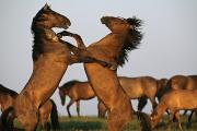 Wildlife Conservation Posters - Two Stallions Fight At A Wild Horse Poster by Melissa Farlow