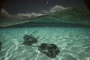 Southern Stingrays Posters - Two Stingrays Cruise The Shallows Poster by David Doubilet