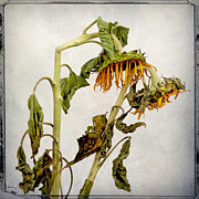 Interior Still Life Metal Prints - Two sunflowers Metal Print by Bernard Jaubert