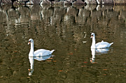 White River Scene Photos - Two swan floating on a pond  by Ulrich Schade