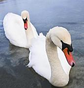 Frozen Lake Photos - Two Swans by Svetlana Sewell