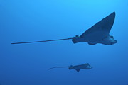 Eagle Ray Posters - Two swimming Spotted Eagle rays underwater Poster by Sami Sarkis