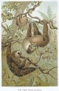 Biology Art - Two-toed Sloth by Granger