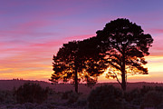 Braken Framed Prints - Two trees in the New Forest at sunset Framed Print by Richard Thomas