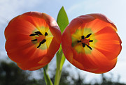 Twins Prints - Two Tulips Print by Dan Holm