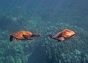 Green Sea Turtle Photos - Two Turtle Tango by Bette Phelan