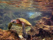 Green Sea Turtle Photos - Two Turtles by Bette Phelan