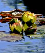 Water Lily Picture Prints - Two Water Lilies Print by Carol F Austin