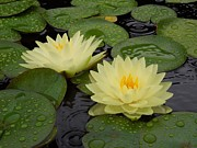 Lily Pad Greeting Cards Posters - Two Water Lilies In The Rain Poster by Chad and Stacey Hall