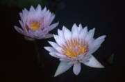 BS Garvin - Two Waterlilies