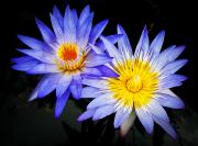 Filter Prints - Two Waterlillies Print by Joe Carini - Printscapes