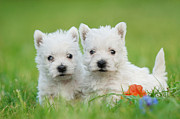 White Maltese Photos - Two West highland white terrier puppies portrait by Waldek Dabrowski