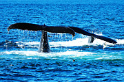 Telephoto Posters - Two whale tails Poster by Mingqi Ge