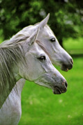 Mares Posters - Two White Arabian Mares Poster by Angel  Tarantella