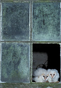Baby Bird Photos - Two White Barn Owl Chicks {tyto Alba} Looking Out Of Broken Window And Huddled Together In Cornwall by Nature Picture Library