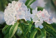 Realistic Watercolor Prints - Two White Rhododendron Blossoms Print by Sharon Freeman