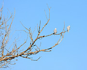 Kites Photos - Two White-Tailed Kite Hawks Perched On A Tree . 40D12029 by Wingsdomain Art and Photography