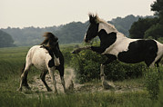 Wild Horses Prints - Two Wild Pony Stallions Stomp And Toss Print by James L. Stanfield