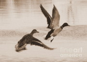 Flying Birds Prints - Two Winter Ducks in Flight Print by Carol Groenen