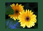 Floral Notecards Posters - Two Yellow Dahlias Poster by Dale   Ford