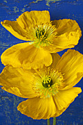 Two Photos - Two Yellow Iceland Poppies by Garry Gay