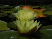 Lily Pad Photograph Framed Prints - Two Yellow Water Lilies Framed Print by Chad and Stacey Hall