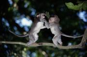 Macaques Prints - Two Young Long-tailed Macaques Macaca Print by Tim Laman