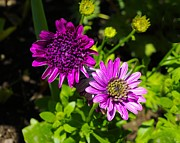 Zinna Photos - Two Zinnias by John  Greaves