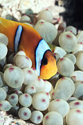 Red Sea Anemonefish Posters - Twoband Anemonefish Poster by Georgette Douwma