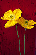 Mood Prints - TwoI Iceland Poppies Print by Garry Gay