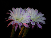 White Cactus Flower Framed Prints - Twos Company  Framed Print by Saija  Lehtonen