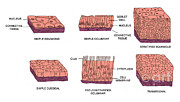 Epithelial Prints - Types Of Epithelial Cells Print by Science Source