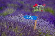 Farm Scenes Prints - U-CUT Lavender Print by Eggers   Photography