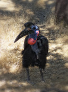 Hornbill Photos - Ugly Bird Ball by Donna Blackhall