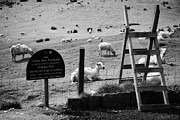 Shorn Sheep Prints - Ulster Way Footpath Wooden Stile And Flock Of Part Shorn Sheep In Fields In County Antrim Ireland Print by Joe Fox