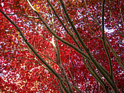 Red Leaves Posters - Under A Red Canopy Poster by Donna Blackhall