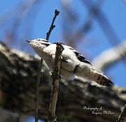 Signed Digital Art Posters - Under Carriage-Downy Woodpecker Poster by Suzanne  McClain